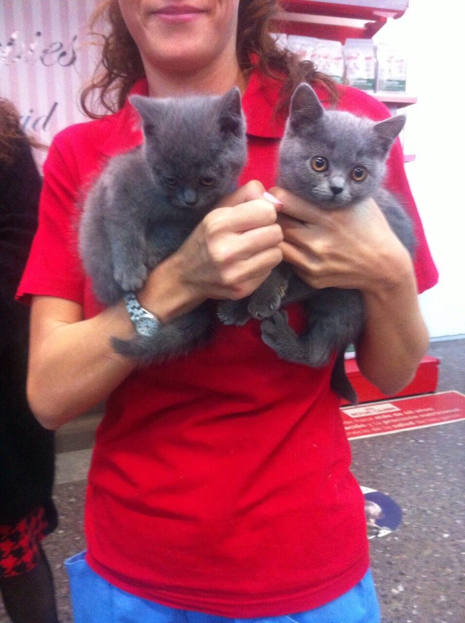 Cachorros de gatos british short hair en madrid