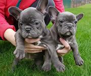 Puppies madrid tu tienda de perros en madrid - Bulldog frances gratis madrid ...